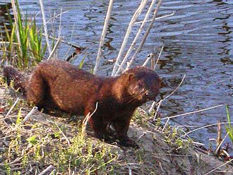 American mink - An American mink in Lithuania's Kėdainiai district