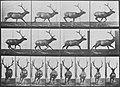 Muybridge, Eadweard - Elch in unregelmäßigem Galopp (0.51 Sekunden) (Zeno Fotografie).jpg