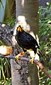 Mynah bird -Edward Youde Aviary, Hong Kong-8a.jpg