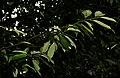 Myristica fragrans W IMG 2458.jpg