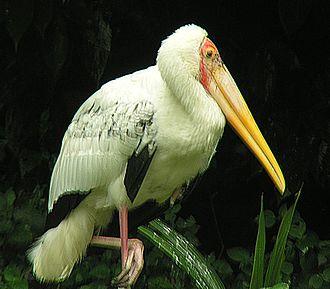 Milky stork - In Borneo