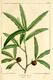 NAS-014f Quercus phellos.png