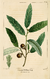NAS-016 Quercus incana.png