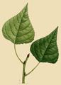 NAS-096y Populus deltoides.png