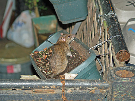 Brown rat in a flowerbox: Some rodents thrive in human habitats. NYC Rat in a Flowerbox by David Shankbone.jpg