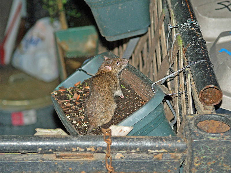 File:NYC Rat in a Flowerbox by David Shankbone.jpg