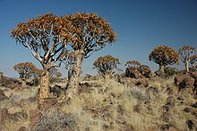 Namibie Quivertree Forest 02.JPG