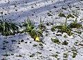 Narcisses couchés par la neige à Montmélian (avril 2019).JPG