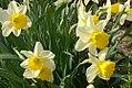 Narcissus Ardglass 2zz.jpg