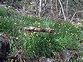 Narcissus muñozii-garmendiae habitat 1.jpg