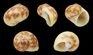 <i>Natica</i> genus of molluscs