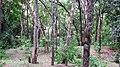 Natural Sandal forest @ Marayoor - panoramio (1).jpg