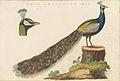 Nederlandsche vogelen (KB) - Pavo cristatus (480b).jpg