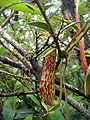 Nepenthes pectinata13.jpg
