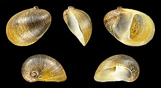 <i>Neritina pulligera</i> Species of gastropod
