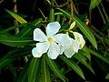 Nerium Oleander Olivais.jpg