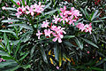 Nerium oleander Oleander, Rosebay ოლეანდრე (2).jpg