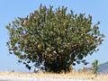 Nerium oleander Zakkum 1380393 Nevit.jpg