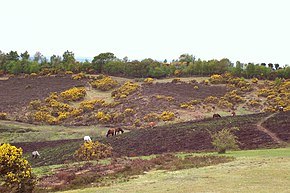 New Forest heath and horses.JPG