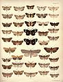 New Zealand Moths and Butterflies (1898) 04.jpg