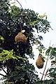Nids de tisserins au nord de São Tomé (1).jpg