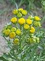 Noordwijk - Duinkruiskruid (Jacobaea vulgaris subsp. dunensis).jpg