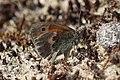 Noordwijk - Hooibeestje (Coenonympha pamphilus) v6.jpg
