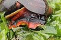 Norris's Top Snail - Norrisia norrisii (28575022017).jpg