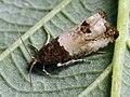 Notocelia roborana - Кистеносая листовёртка резаная (26408251557).jpg