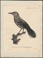 Nucifraga caryocatactes - 1825-1834 - Print - Iconographia Zoologica - Special Collections University of Amsterdam - UBA01 IZ15700177.tif