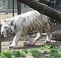 Nyíregyháza Zoo, Panthera tigris tigris, mutatio alba-2.jpg
