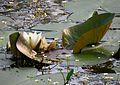 Nymphaea alba Kryvets2.jpg