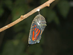 Nymphalidae - Danaus plexippus Chrysalis-1.JPG