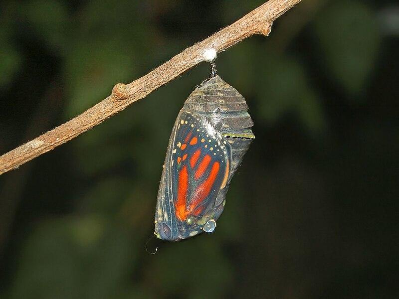 File:Nymphalidae - Danaus plexippus Chrysalis-1.JPG