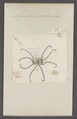 Nymphon - Print - Iconographia Zoologica - Special Collections University of Amsterdam - UBAINV0274 073 05 0007.tif