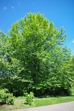 Nyssa sylvatica tree.jpg
