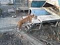 Oáza Sibírskeho Tigra - panoramio (12).jpg