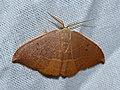 Oak Hook-tip (Watsonalla binaria) male (14528875221).jpg