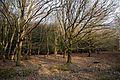 Oak and beech at High Beach, Epping Forest, Essex England.jpg