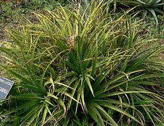 <i>Ochagavia</i> genus of plants