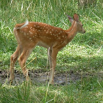 White-tailed deer - Fawn waving its white tail