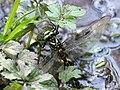 Odonata Treffléan 01.jpg