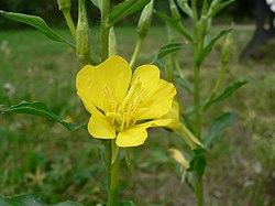 Oenothera biennis 20050825 962.jpg
