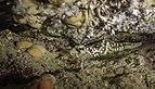 Ofiura lisa (Ophioderma longicauda) y estrella espinosa común (Marthasterias glacialis), Parque natural de la Arrábida, Portugal, 2020-07-21, DD 24.jpg