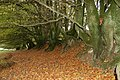 Old Beech Hedge near Staddon Hill - geograph.org.uk - 267886.jpg