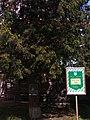 Old tree pr. Peremohy 125 (May 2019) 1.jpg