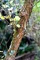 Olearia paniculata in Auckland Botanic Gardens 02.jpg