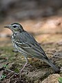 Olive-backed Pipit (cropped).jpg