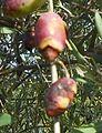 Olive picholine atteinte par Colletotrichum gleosporodides.JPG
