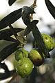 Olives(S.AGOSTINO)Cl J Weber03A (2) (23158652082).jpg